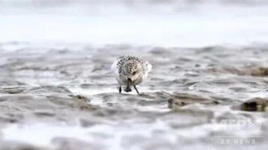絶滅危惧種のヘラシギ、再び浙江に 世界で200羽の希少鳥類