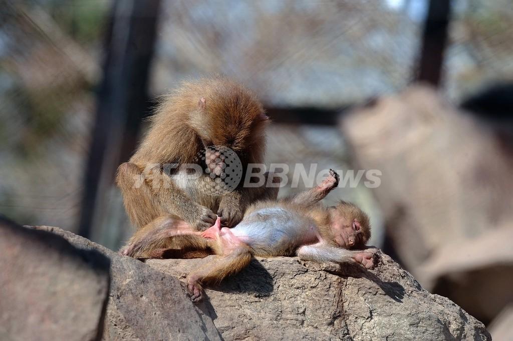 おしっこをかけられたザンビア大統領、サルたちを「強制移住」