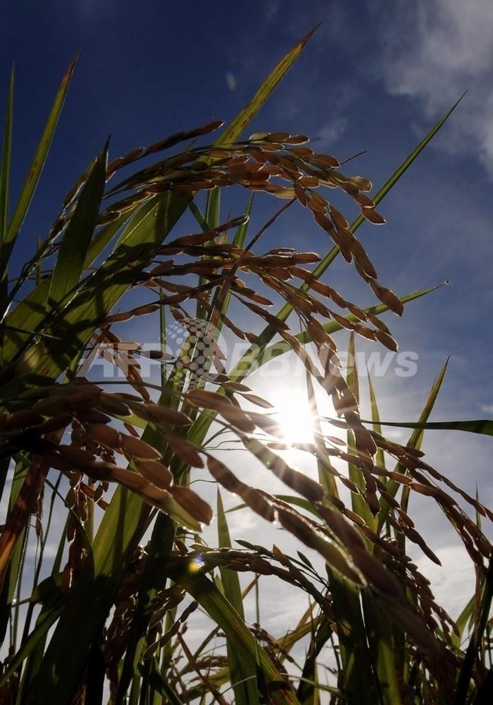稲の成長を5倍速めるスーパー菌を発見、スイス・ローザンヌ大