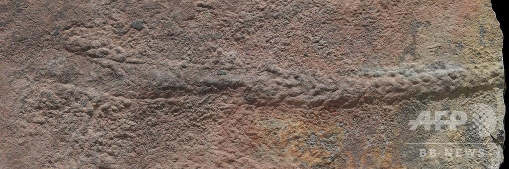 5.5億年前の「死の行進」、初期体節動物の運動解明の手掛かりに