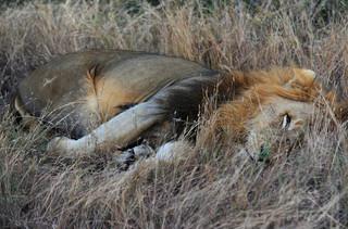 密猟者がライオンの餌食に? 南ア禁猟区に人の頭部