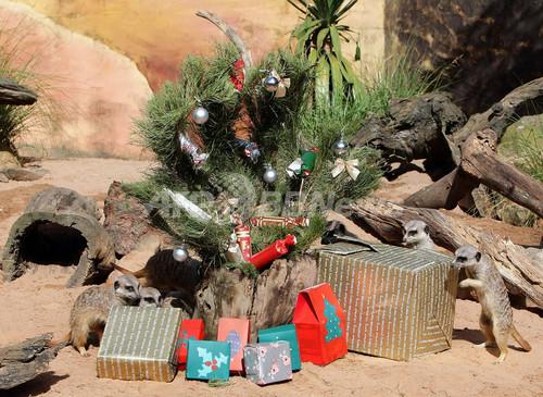 クリスマスプレゼントにわくわく、豪動物園のミーアキャット