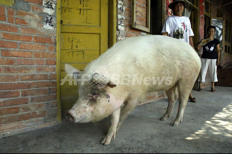 四川大地震から生還したブタ、中国の「今年の動物」に選ばれる