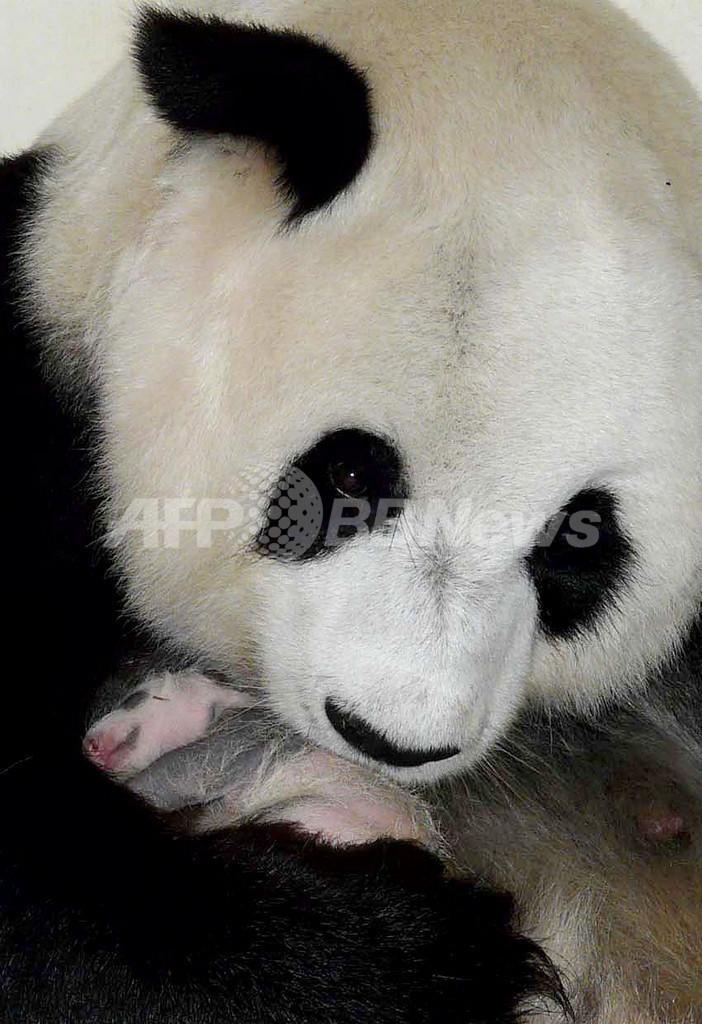 赤ちゃんパンダ「リンピン」1歳に、デモに疲れたタイ国民の癒しに