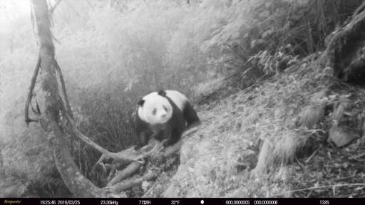 動画:中国四川省の自然保護区で野生パンダを撮影、同一地点で4回