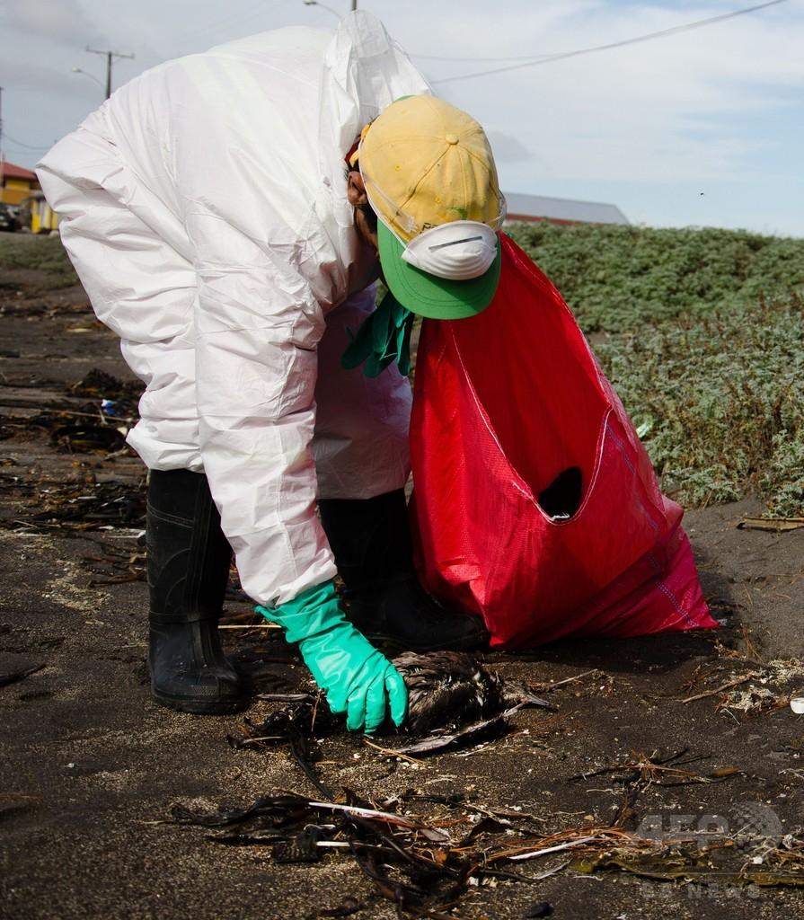 海鳥1300羽、砂浜で謎の大量死 チリ
