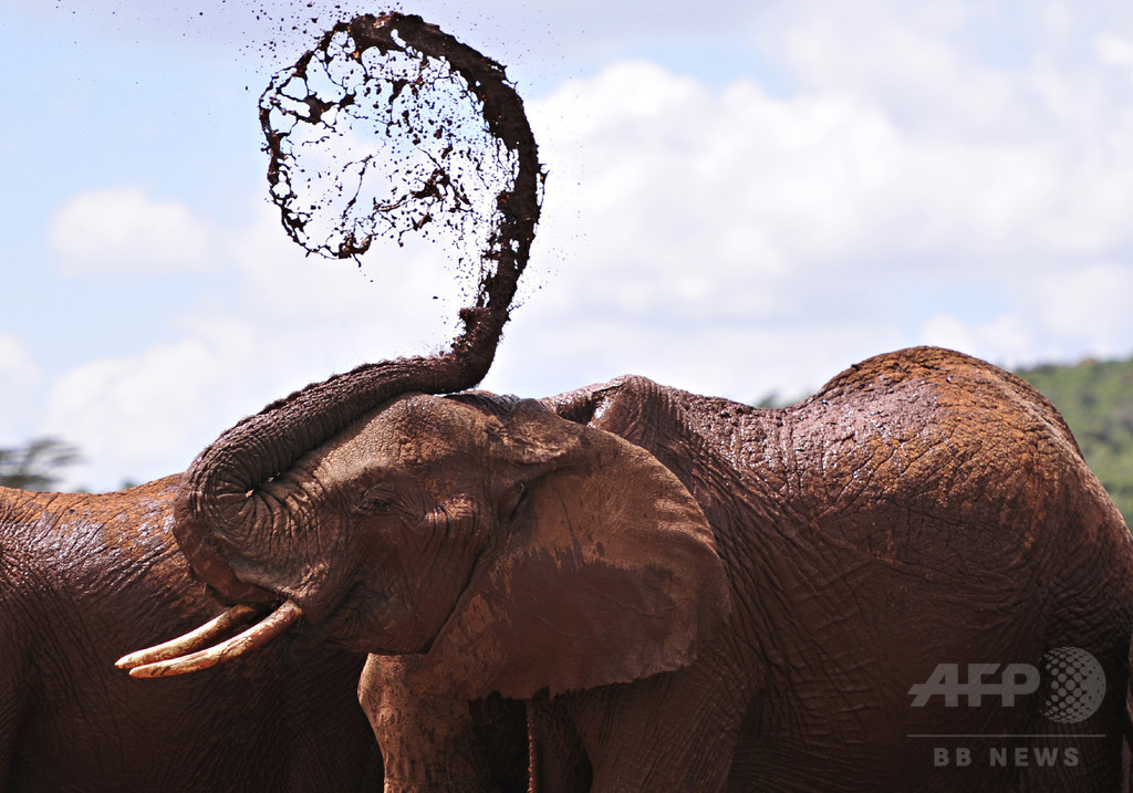 ケニア有数の放牧場の経営者、ゾウに踏まれて死亡