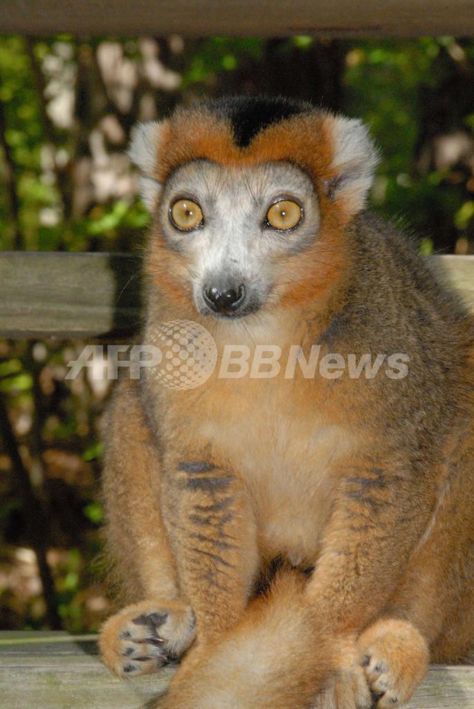 キツネザルの密猟が急増、高級食材としてレストランに マダガスカル