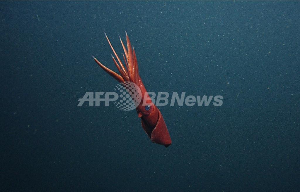 深海のキタノヤツデイカは「男女」見境なくセックスする、米研究