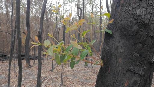 動画:炎に包まれた森に新芽、豪森林火災で早くも復興の兆し