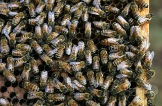 ミツバチのコロニー崩壊、若バチの早死にも要因か 国際研究
