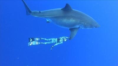 動画:ハワイ沖に巨大ホホジロザメ出現、体長6メートルの雌 ダイバーと泳ぐ