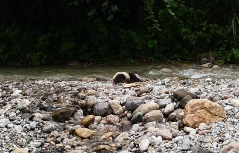 四川・自然保護区内でジャイアントパンダの死骸 豪雨で水死か