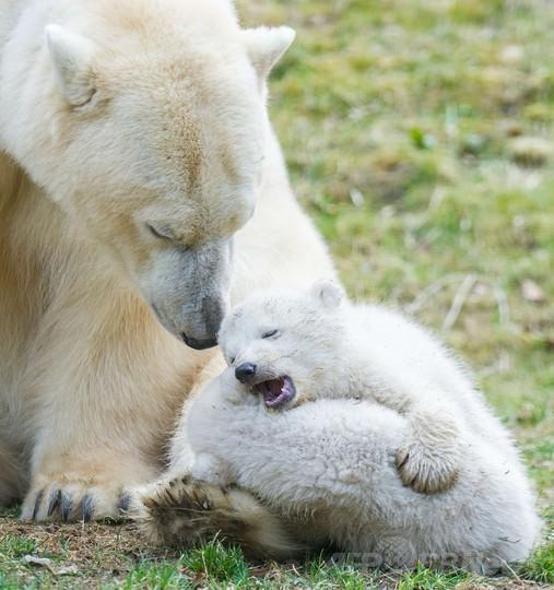 ホッキョクグマの双子の赤ちゃん公開中、独ミュンヘンの動物園