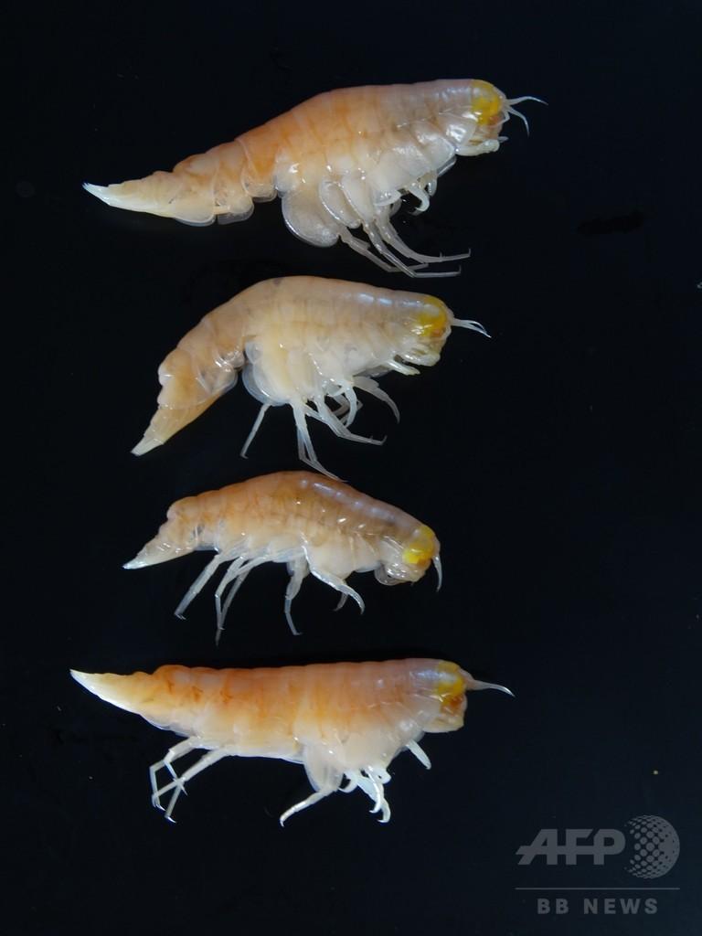 汚染物質、水深11キロの海溝最深部で検出 海洋研究