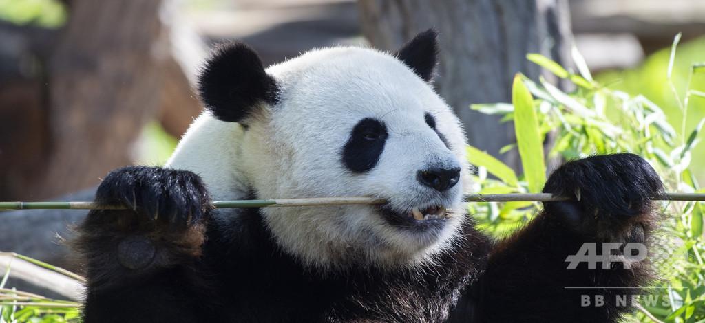 ドイツ初、ベルリン動物園でパンダが誕生 双子で二重の喜び