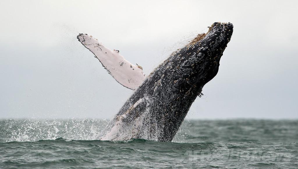 豪のクジラ座礁急増、栄養失調が原因か