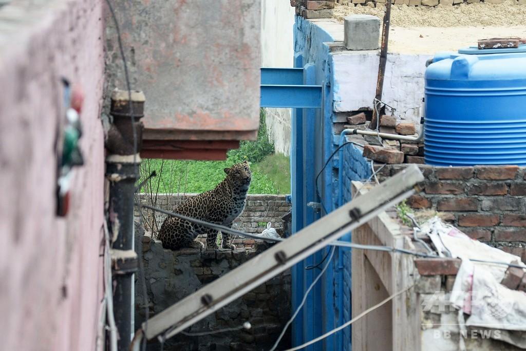 インドの街中にヒョウ出没、住民襲われパニックに