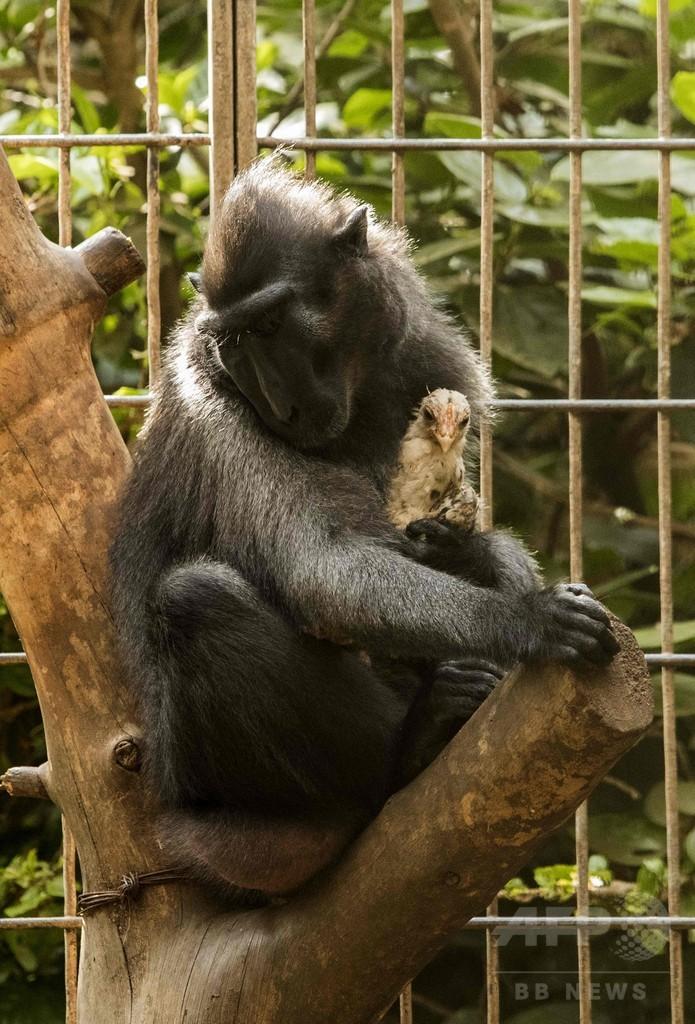 愛に飢えた雌ザル、ニワトリを「養子」に イスラエル動物園