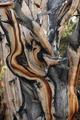 樹齢4700年、世界最古の巨木