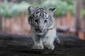 三つ子のホワイトタイガーの赤ちゃん、動物園で公開 中国・昆明