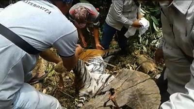 動画:絶滅危惧種のスマトラトラ死骸、わなにかかった状態で発見 インドネシア
