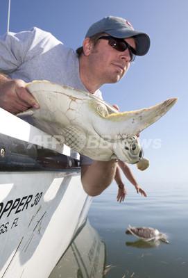 大寒波で「気絶」したアオウミガメ、海に帰る 米フロリダ