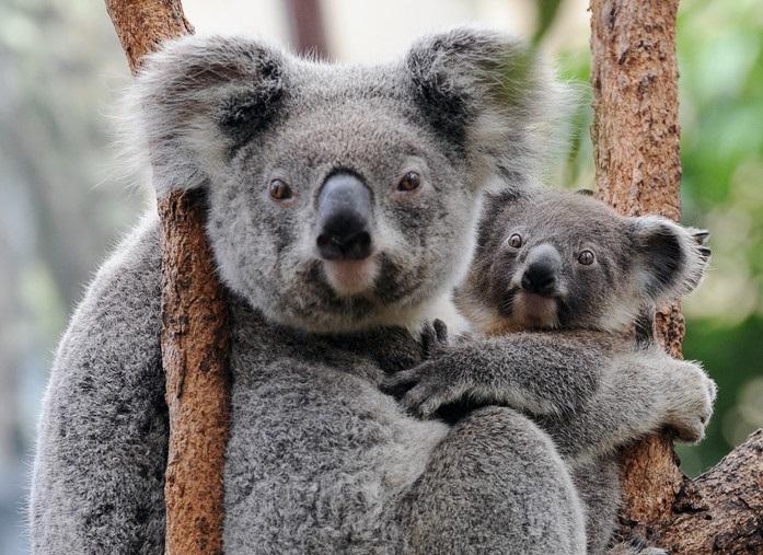 何者かがユーカリの森伐採、コアラ数十匹を安楽死 豪州