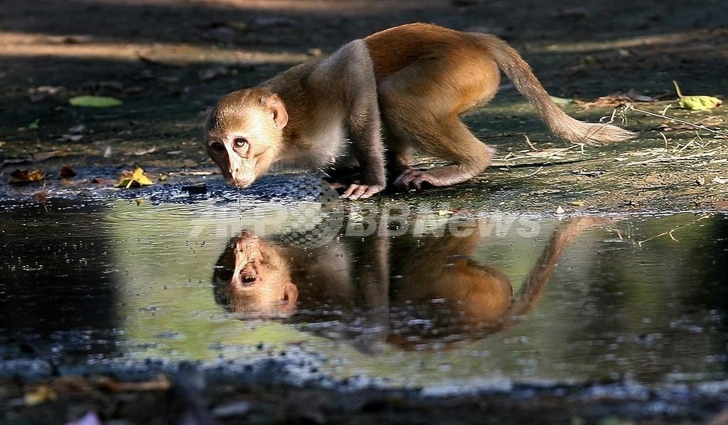 サルに多いマラリアが人にも感染、死亡例も マレーシア研究