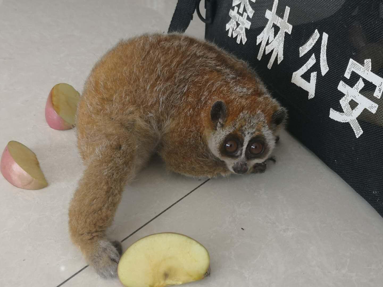 希少サルのピグミースローロリスを保護 雲南省金平県
