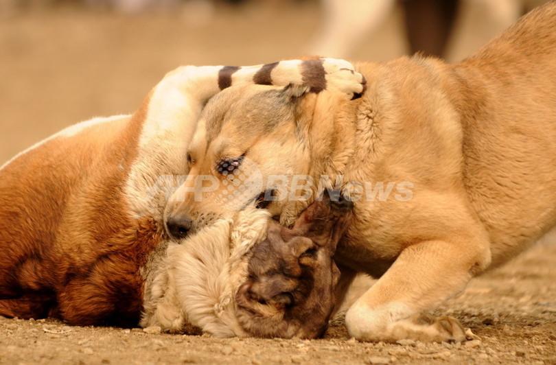 犬舎に240匹、韓国のオンライン闘犬賭博グループをフィリピンで摘発
