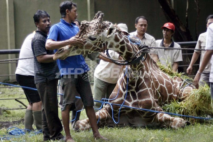 死んだキリンの胃からプラスチック塊20キロ、インドネシア動物園