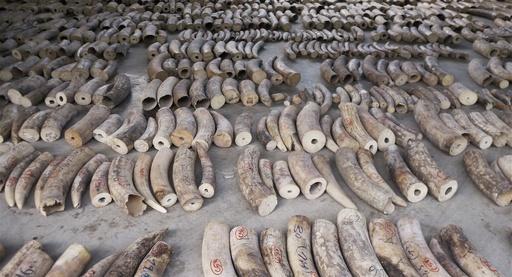 シンガポール、象牙販売全面禁止へ 2021年9月から
