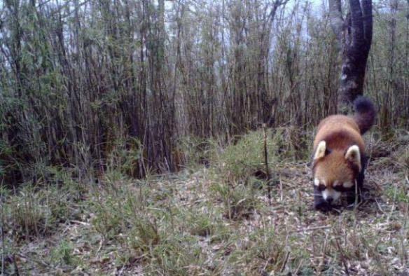四川省でアルビノの野生レッサーパンダを確認 国内初