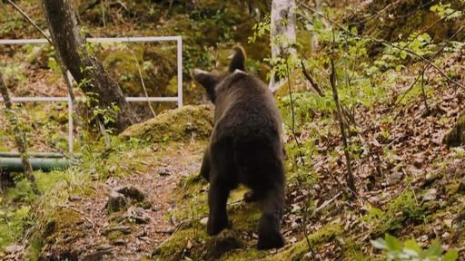 動画:保護された子グマ3頭、再び森へ 野生復帰プログラム終了