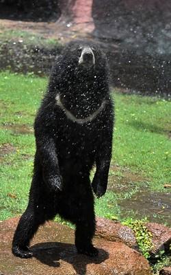 気温40度、暑くてかなわないクマ! インド南部
