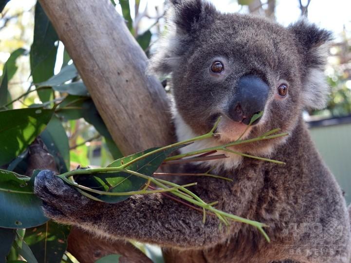 まだ見ぬパートナーを探して、愛に飢えた雌コアラが飼育場を脱走 豪