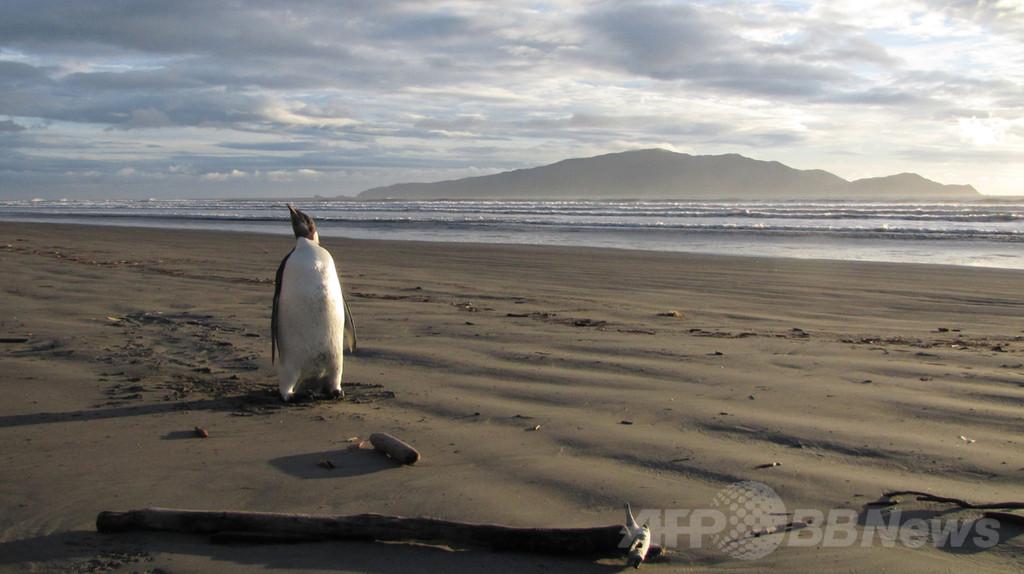 コウテイペンギン、温暖化で個体数減少の推計