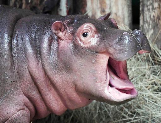 僕の名前は「ハロウィーン」 なぜかというとね…独動物園の赤ちゃんカバ