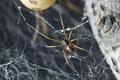 ゴケグモの雄、交尾後の共食い避ける「恐ろしい」保身術明らかに