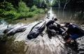 ジャワ島の海岸にクジラ多数漂着、8頭死ぬ 「社交性」が命取りに