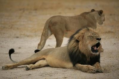 ジンバブエの人気ライオン殺される、米狩猟愛好家に非難殺到