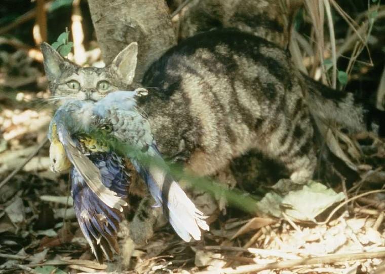 オーストラリアの猫、毎日100万羽以上の鳥を殺す 研究