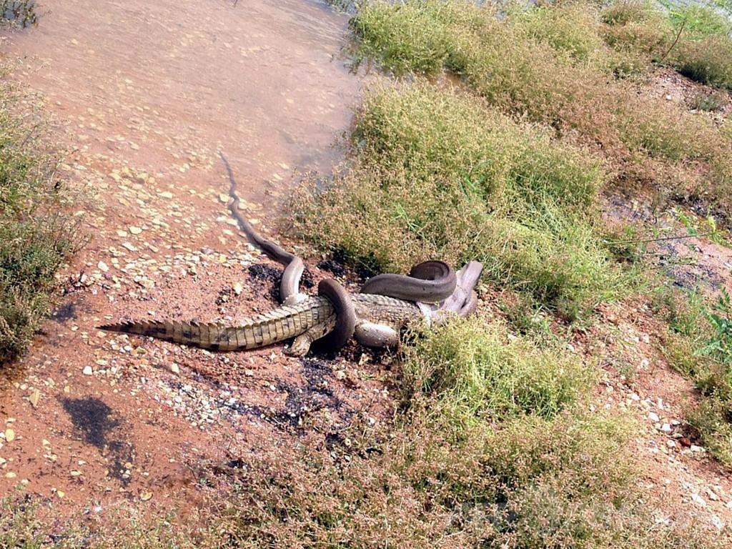 大蛇が死闘の末ワニを丸のみ オーストラリア