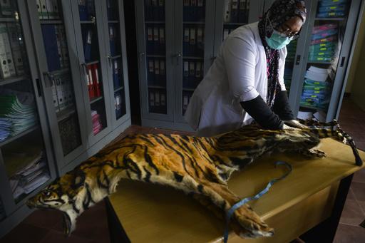 殺され密売されたトラ、今世紀すでに2300頭以上 NGO報告