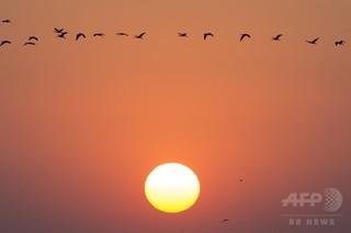 先頭は順番で交代、渡り鳥のV字飛行 国際研究