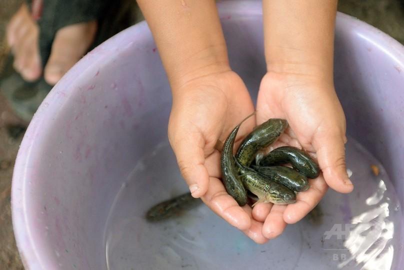 魚、細菌、放射線…ジカ熱抑制へあの手この手 中南米各国