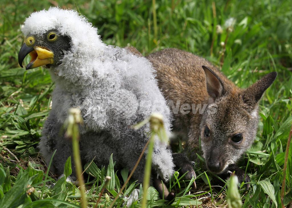 仲良しこよし?カンガルーとオウムの赤ちゃん、独動物園