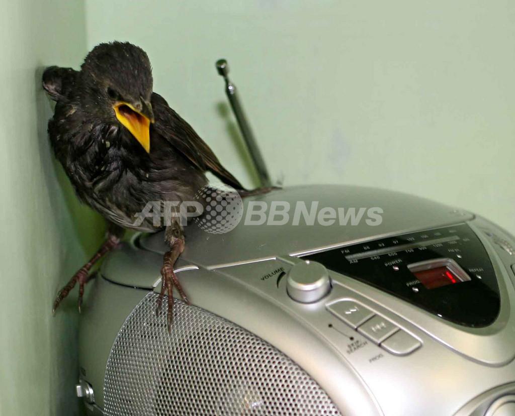 野生動物センターのヒナ鳥、CDプレーヤーで鳴き方の「お勉強」