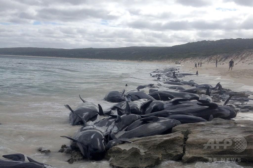 クジラ135頭、浜辺に打ち上げられ死ぬ 豪南西部